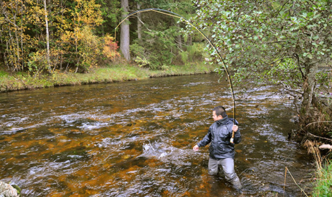 An angler plays a salmon on River Shee, Perthshire